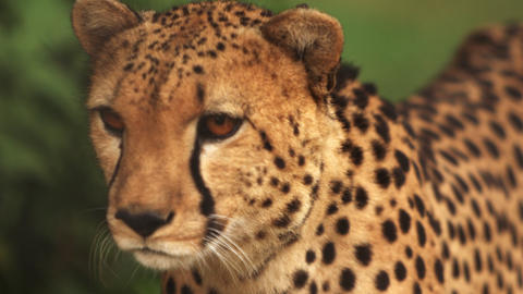 Close up footage and pan of walking cheetah Footage