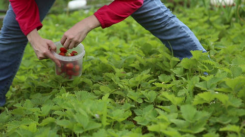 A girl picks strawberries Footage