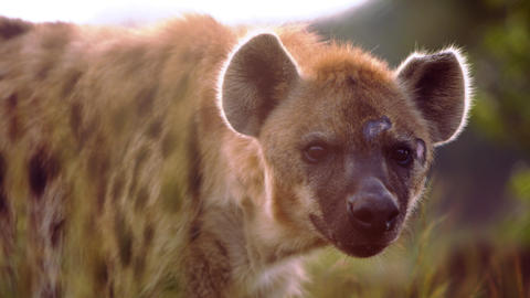 Close up of hyena's face Footage
