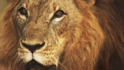 Close up of male lion's face Footage