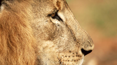 Close up of male lion profile Footage