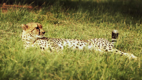 Cheetah relaxes in grass Footage