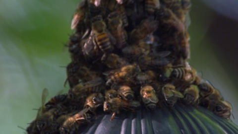 Close up of bees crowding on a conical structure Footage