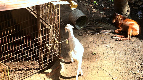 bright sun lights tied goats in dirty indian village yard Live Action