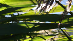Lens Flare Through Plant Leaves Footage