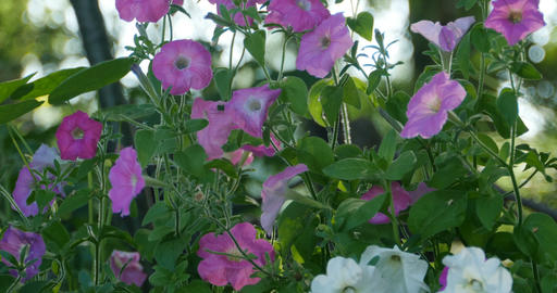 many petunia flowers on the garden bed Footage