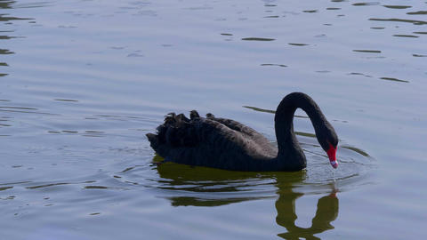 The famous Black Swans at Leeds Castle in UNITED KINGDOM... Stock Video Footage