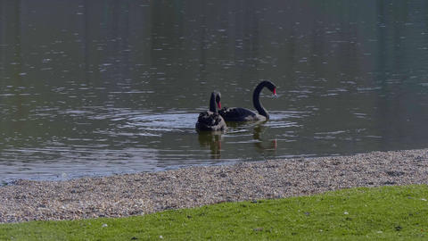 The famous Black Swans at Leeds Castle in UNITED KINGDOM - KENT, UNITED KINGDOM Live Action