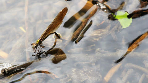 Dragonfly lay eggs under water from up Footage