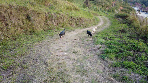 Stray dogs walking and running on the mountain path Footage