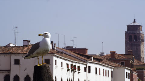 Slow motion shot of a seagull perched and then flying in front of the rooftops Footage