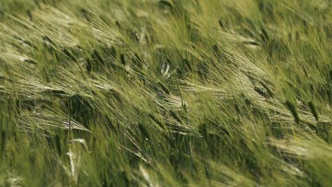 Field of Green Wheatears Footage
