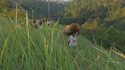 Man Carrying Dried Long Grass On Head On The Ridge,Ubud,Indonesia stock footage