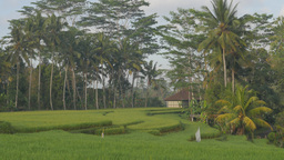 Rice paddies between palm trees,Ubud,Indonesia Footage
