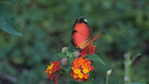 Red lacewing butterfly standing on flower head Live Action