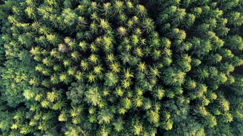 Zooming out drone shot over pine trees forest green needle trees cinematic Live Action