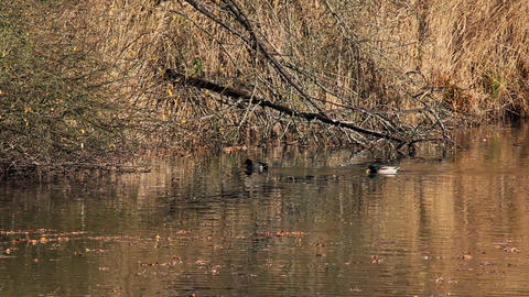 Duck swim on pond Footage