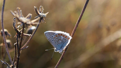 Small butterfly sit, silver-studded blue, Plebejus argus Live Action