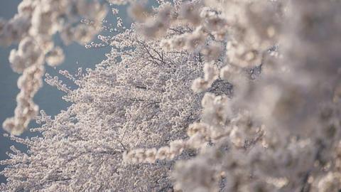 Sakura cherry blossom tree Footage