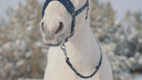 Close up adorable muzzle of a white horse on a country ranch. Horses walk Live Action
