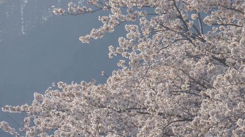 Sakura tree blowing in the wind Footage