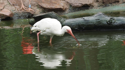White ibis with a fish in its beak. Eudocimus albus Footage