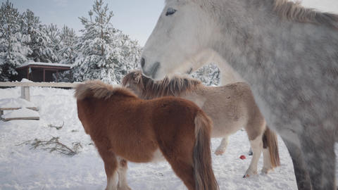 Horses of different breeds standing at the winter ranch. Two small ponies and Footage