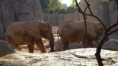 African savannah elephant. Species: Loxodonta africana, family: elephantidae Footage