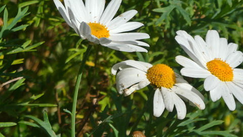 daisies in a meadow in spring Live Action