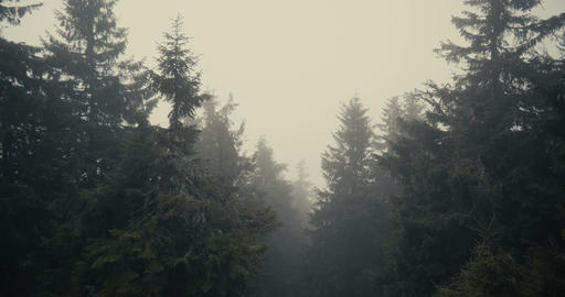 High spruce tree tops under dense fog in the Carpathians in slow motion Live Action