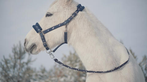 Adorable muzzle of a white horse standing on a country ranch. Horses walk Live Action