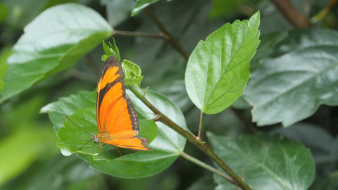 Red lacewing butterfly flies from flower to flower Footage