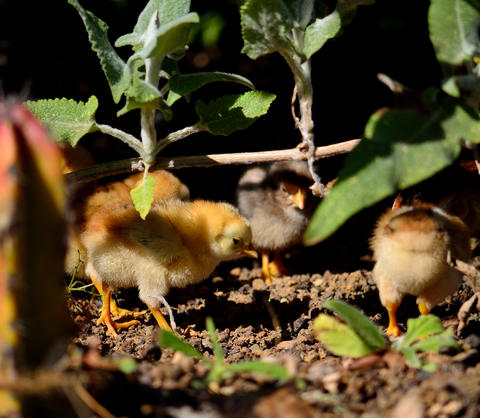 Chicks among the bushes Photo