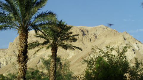 Stock Video Footage panorama of Ein Gedi palm trees and a desert mountain shot i Footage