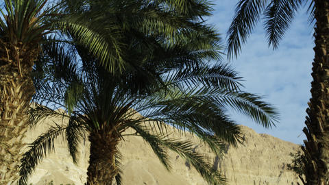Royalty Free Stock Video Footage of Ein Gedi palm trees shot in Israel at 4k wit Live Action