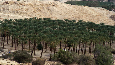 Royalty Free Stock Video Footage of a palm tree orchard shot in Israel at 4k wit Footage