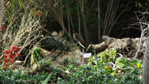 Royalty Free Stock Video Footage of a bird perched in a garden shot in Israel at Footage