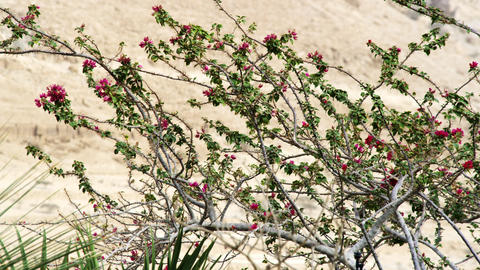 Royalty Free Stock Video Footage of a flowered tree in the desert shot in Israel Footage