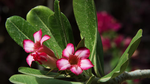 Royalty Free Stock Video Footage of pink-flowered branches shot in Israel at 4k  Footage