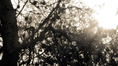 Royalty Free Stock Video Footage of sunshine through pine branches shot in Israe Footage