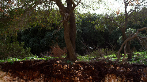 Royalty Free Stock Video Footage of exposed root system of tree shot in Israel a Footage