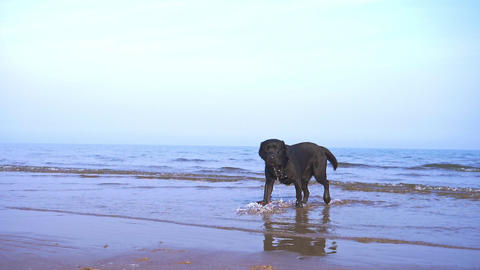 Black Labrador Running on the Beach Footage