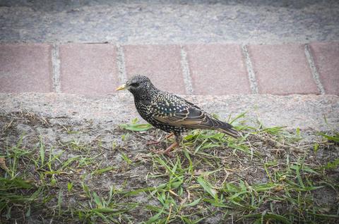 Fledgling Common starling (Sturnus vulgaris) on the grass Fotografía
