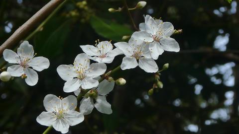 closeup of plum blossom Footage