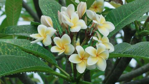plumeria flower Acción en vivo