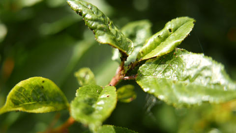 4K Aphids on Green Plant Leaves Stock Video Footage