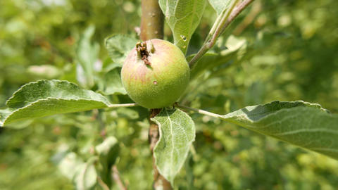4K Unripe Green Apple on an Early Summer Day Stock Video Footage