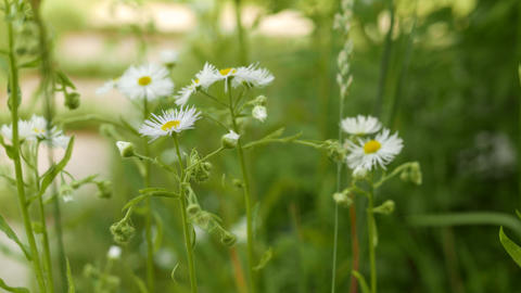 4K Ox-Eye Daisy Leucanthemum Vulgare in the Summer Stock Video Footage
