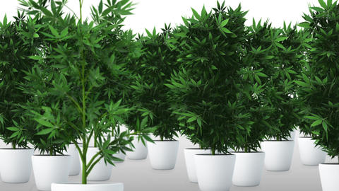 Cannabis Plants 3D AnimationMarijuana legalization happens in Canada on October 17, 2018 Animation