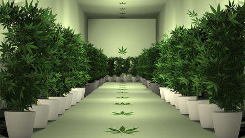Cannabis Plants in Cultivation Room 3D Animation 1Marijuana legalization happens in Canada on Animation